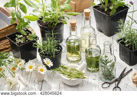 Making Oil Or Infusion From Home Grown Medicinal Plants. Bottles Of Essential Oil Or Infusion Of Med