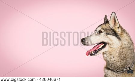 head shot of a panting Husky dog wearing a collar against a pink background