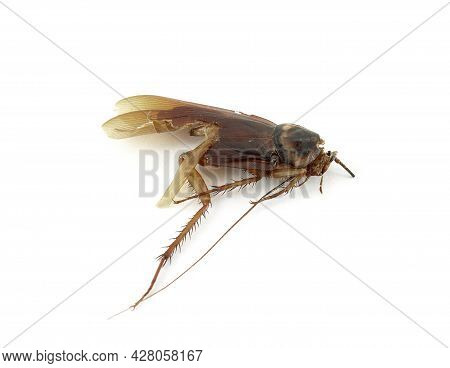 Close Up Cockroach Was Stomp To Death Isolated On White Background, Roach Remains That Has Been Hit