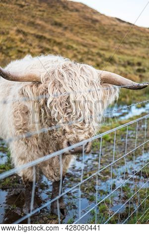 Close Up Of Highland Cattle, A Scottish Cattle Breed. Hairy Cow With Long Horns And Wavy Coats. On T