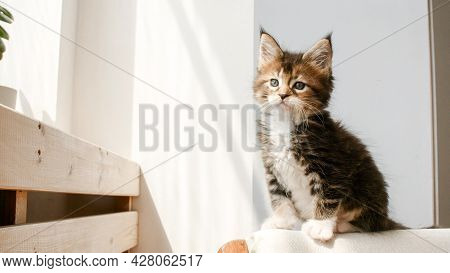 Striped Grey Kitten Creeps Along The Back Of The Sofa. Kitten In The Lights Of A Sun. Cat Hunt. Kitt