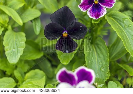Multicolored Flowers On Flowerbed In City Park On Sunny Summer Day. Black Violka Vittroka Or Garden