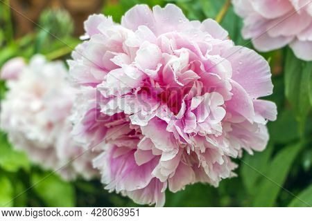 Blooming Delicate Pink Peony In Summer Garden After Rain With Drop. Paeonia Officinalis. Beautiful P