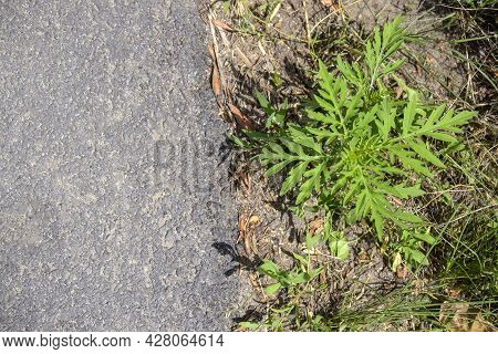 American Common Ragweed. Young Bush Have Not Yet Bloomed Ambrosia On Side Of Asphalt Road. Dangerous