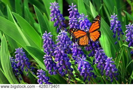 Monarch Butterfly On Blue Flowers. Blue Muscari Flowers And Bright Orange Monarch Butterfly Close Up