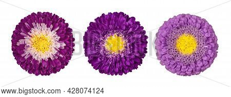Set Of Purple Aster Flowers Isolated On A White Background. Flowers Set. Callistephus Chinensi. Astr