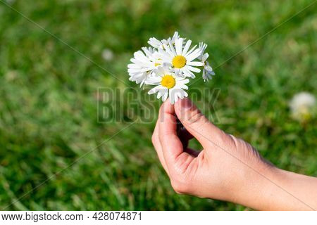 Little Bouquet Of Delicate White Flowers Symbolizing Purity. Blossoming Opened Daisies On Bokeh Back