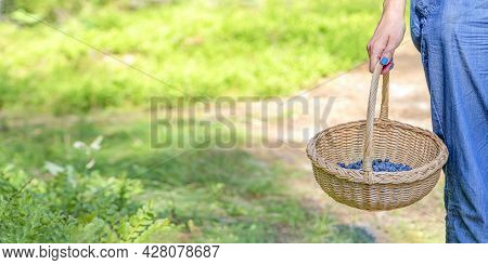 Berry Season. Collect Blueberries In The Forest. A Woman Walks Through The Forest With A Basket Cont