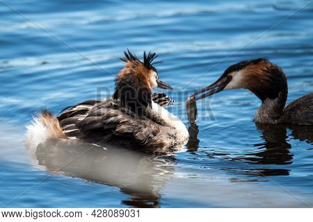 Den Helder, The Netherlands. June 2021. A Female Grebe With Young Grebes On Het Back, Being Fed By T