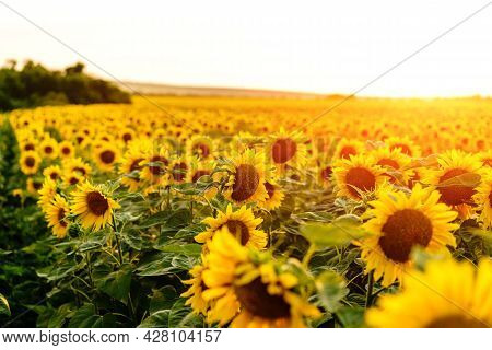 Sunflower Field. Sunflowers Flowers. Landscape From A Sunflower Farm. Produce Environmentally Friend