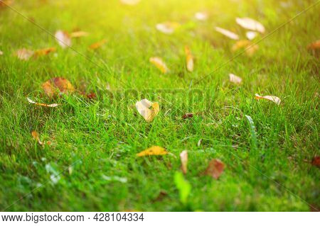 Autumn Grass With Fallen Yellow Leaves In Sunset Light. Autumn Leaves On Green Grass In Sunlight. Fa