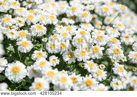 Blooming Daisy  Field, Chamomile Flowers On A Meadow In Summer. Blooming Daisy  Field, Chamomile Flo