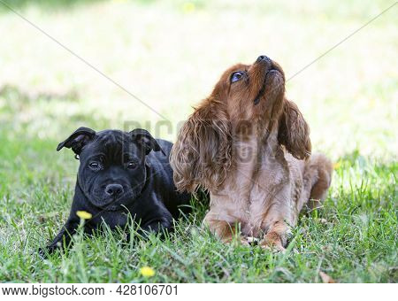 Puppt Staffordshire Bull Terrier And Cavalier King Charles Free In A Garden
