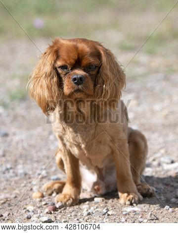 Cavalier King Charles Sitting In The Nature In Summer