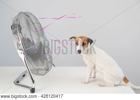 Jack Russell Terrier Dog Sits Enjoying The Cooling Breeze From An Electric Fan On A White Background