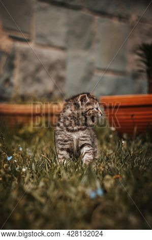 Grey And Black Striped Kitten Is Sitting In The Garden And Screaming All Over The Place. The Young D