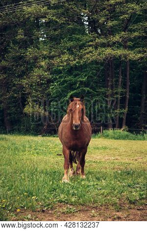 Burly, Hard-working Horse Walks Through The Corral And Looks Towards The Sounds. Equus Ferus Caballu