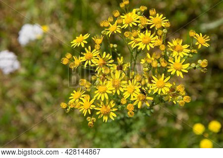 Jacobaea Vulgaris (stinking Willie) Plant Blooming In A Meadow