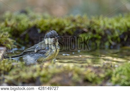 Great Tit, Parus Major Young Songbird. Stands In The Water At A Forest Watering Hole For Birds.