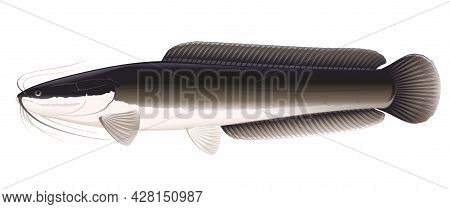 Realistic African Sharptooth Catfish In Side View Isolated Illustration, One Big Freshwater Fish Cla