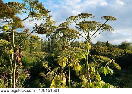Giant Hogweed Poisonous Plant On The Blue Sky Background In Sunny Summer Day