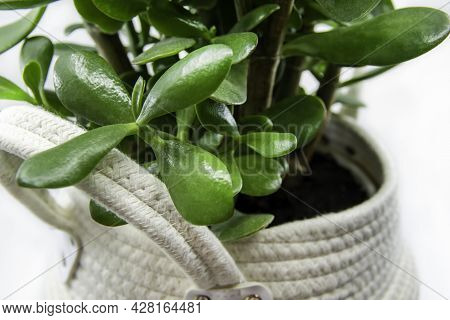 Potted Crassula Ovata Or Pigmyweeds Home Plant Isolated On White Background. This Plant Is Known To