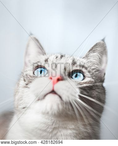 Background. Thai Siamese Cat Dreams About Something, Looks Up