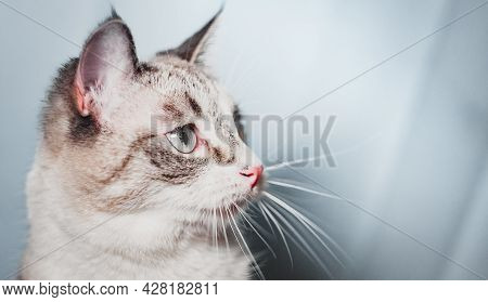 The Thai Siamese Cat Turns Away, Showing The Stripes On Its Cheeks