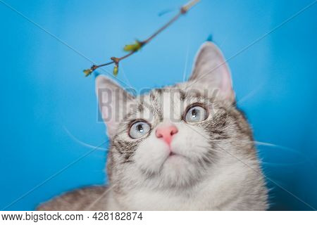 The Siamese Point Lynx Looks At A Green Twig. Natural Toys For Cats