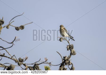 A Female Mountain Bluebird Perching On A Tree Branch, Yellowstone National Park