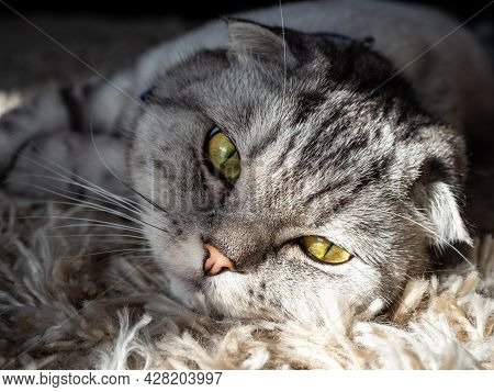 Beautiful Fold-eared Cat Beautiful Fold-eared Cat Of Gray Color, Fashionable Breed. The Cat Is Lying