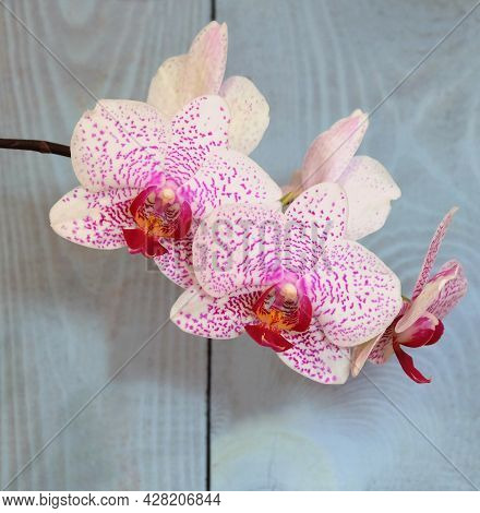 Phalaenopsis Orchid, White With A Crimson Lip And Crimson Dots, Beautyful Smile Variety, Selective F