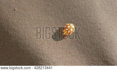 Ladybug Yellow In Nature In Siberia, Ladybug Beetles. Calvia Quatuordecimguttata. Ladybug, Orange, A
