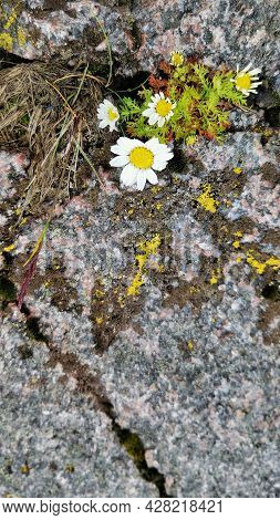 Arctic Chamomile Tundra. Ecotourism. Healthy Eating And Alternative Medicine Concept. Texture Of Swa