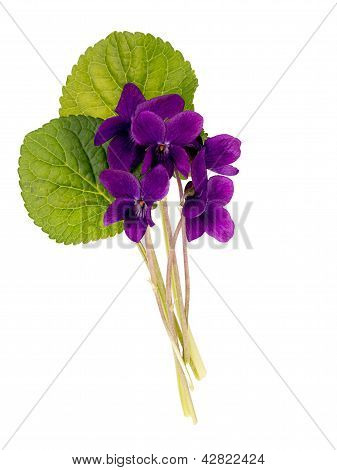 Wild Aka Dog Violets - Viola Riviniana, Isolated Over White