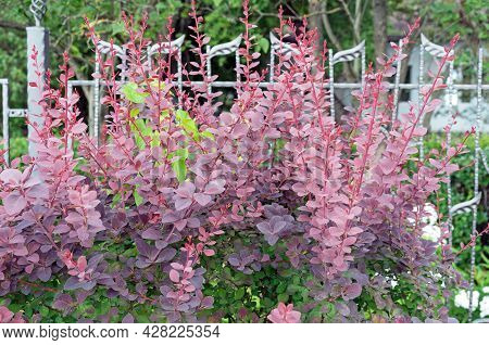 Barberry Thunberg Bush With Purple-pink Leaves And Thorns.
