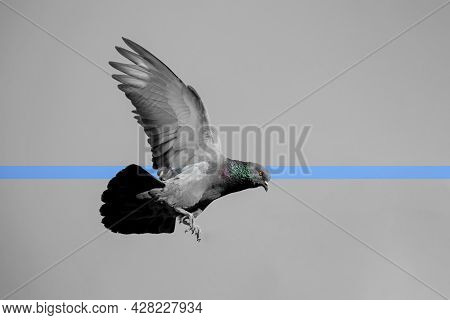 Movement Scene Of Rock Pigeon Flying In The Air Isolated On Sky
