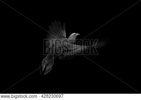 Close Up Rock Pigeons Flying In The Air Isolated On Black Background, Picture Concept