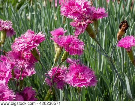 Closeup Of Group Of Bright Pink Flowers - Common Pink, Garden Pink Or Wild Pink (dianthus Plumarius)