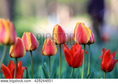 nice red and yellow tulips flowers