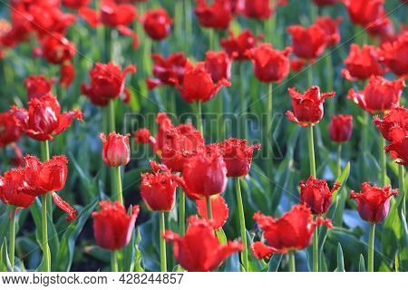 nice red tulips flowers in spring park