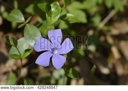 Lesser Periwinkle Flower - Latin Name - Vinca Minor