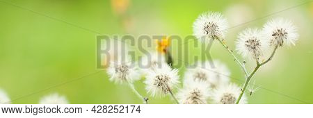 Branch Of A Faded Wild-growing Flower Crepis With Seeds With Feathers Growing In A Summer Field Or M