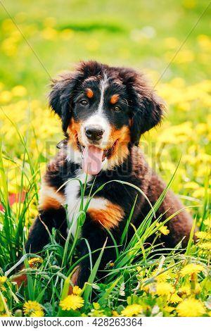 Bernese Mountain Dog Berner Sennenhund Puppy Sitting In Green Grass Outdoor
