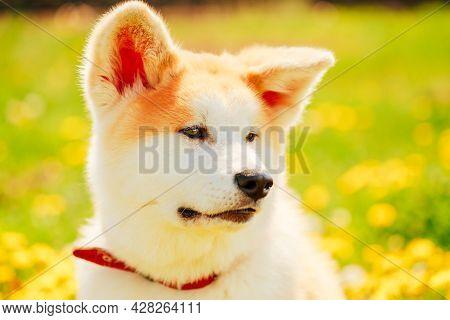 Akita Dog Akita Inu, Japanese Akita Puppy Sitting In Green Grass Outdoor
