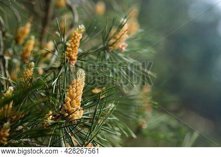 Pinus Sylvestris Scotch Pine European Red Pine Scots Pine Or Baltic Pine Closeup Macro Selective Foc