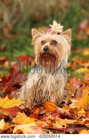 Adorable Yorkshire Terrier In Autumn