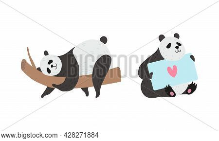 Panda Bear With Black-and-white Coat And Rotund Body Holding Card And Lying On Tree Branch Vector Se