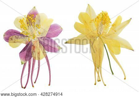 Pressed And Dried Lilac, Yellow Flowers Aquilegia Vulgaris. Isolated On White Background. For Use In