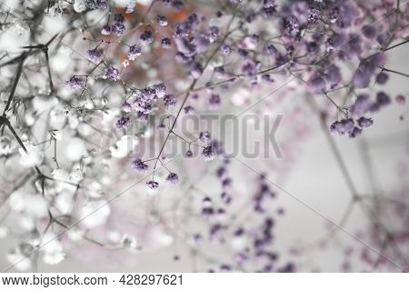 Colorful Gypsophila Airy Masses Of Small Flowers. Photo